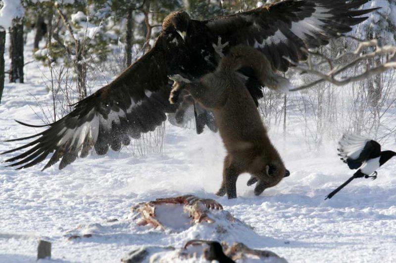 3. Орёл против лисы. Представьте, что вы – гордый орел, наслаждающийся настоящим пиром в виде трупа