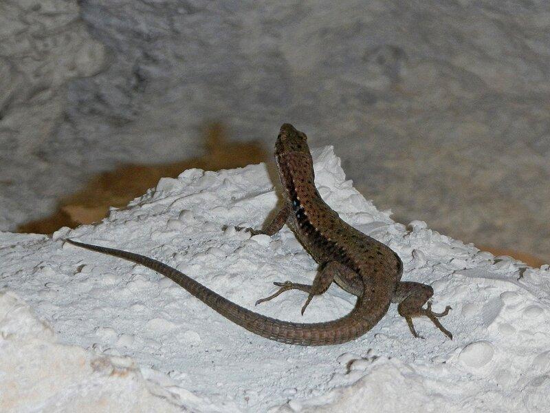 Ящерица прыткая (Lacerta agilis) на камне