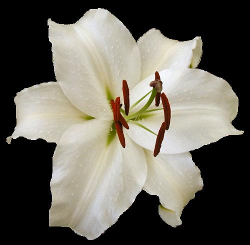 """Tubes Déco : Les fleurs thème """" les lys"""""""