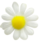 camomile (6).png