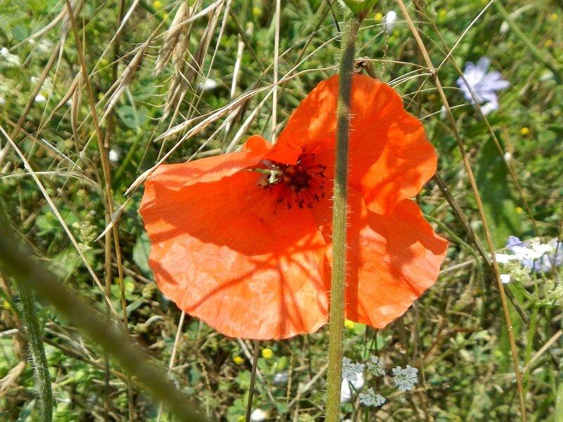 Цветок красного мака