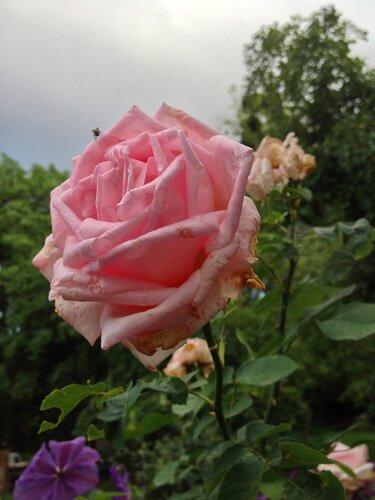 Последняя роза лета...
