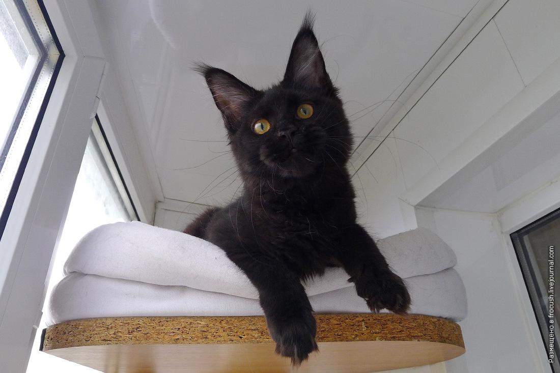 кошка мейнкун окраса черный солид цена