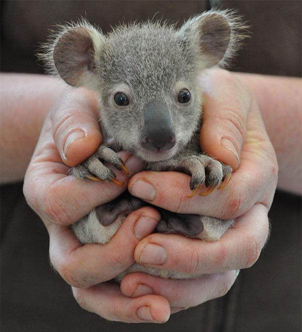 15. Малышка-коала