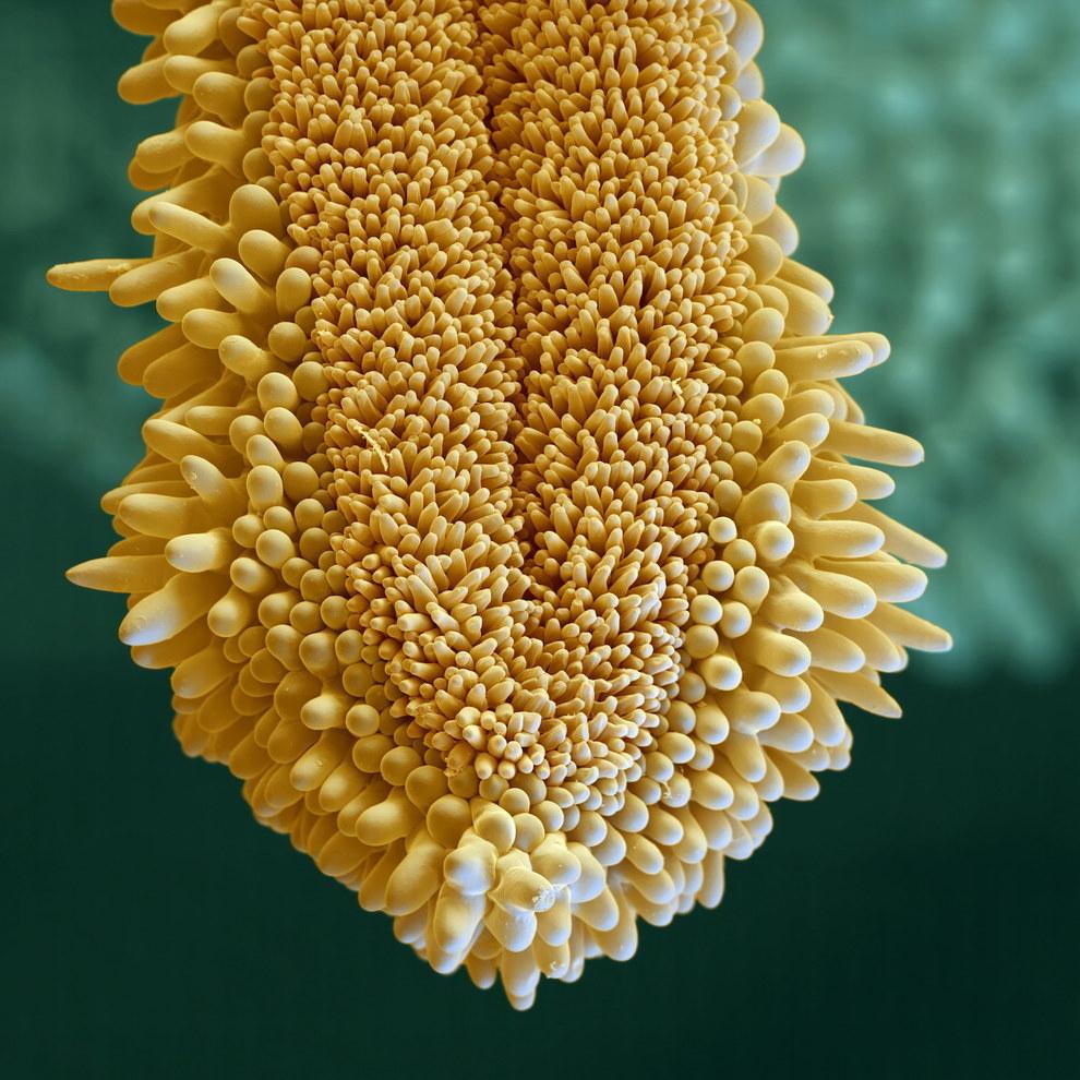 8. Еще один снимок, сделанный с помощью электронного микроскопа. На самом деле, это арника — род мно