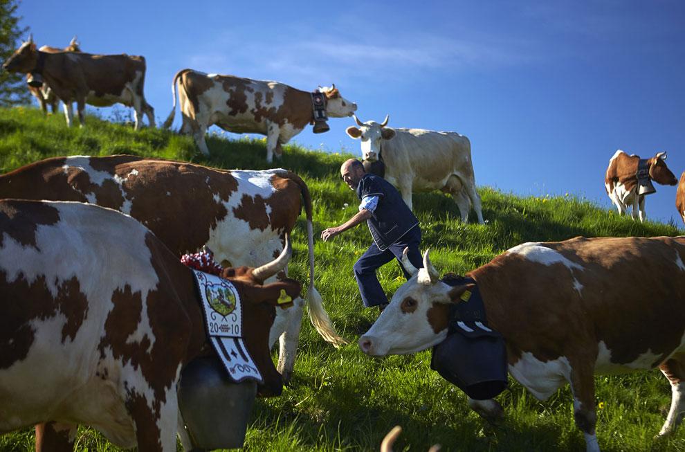 Альпийские пейзажи. Семья Murith возвращается со своими коровами домой. Справа виден замок Грюй