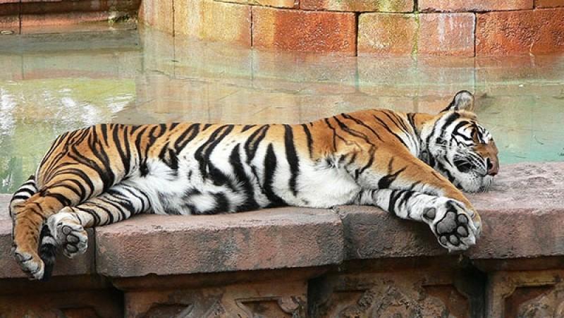 Тигры загрызли гостя зоопарка вкитайском Нинбо