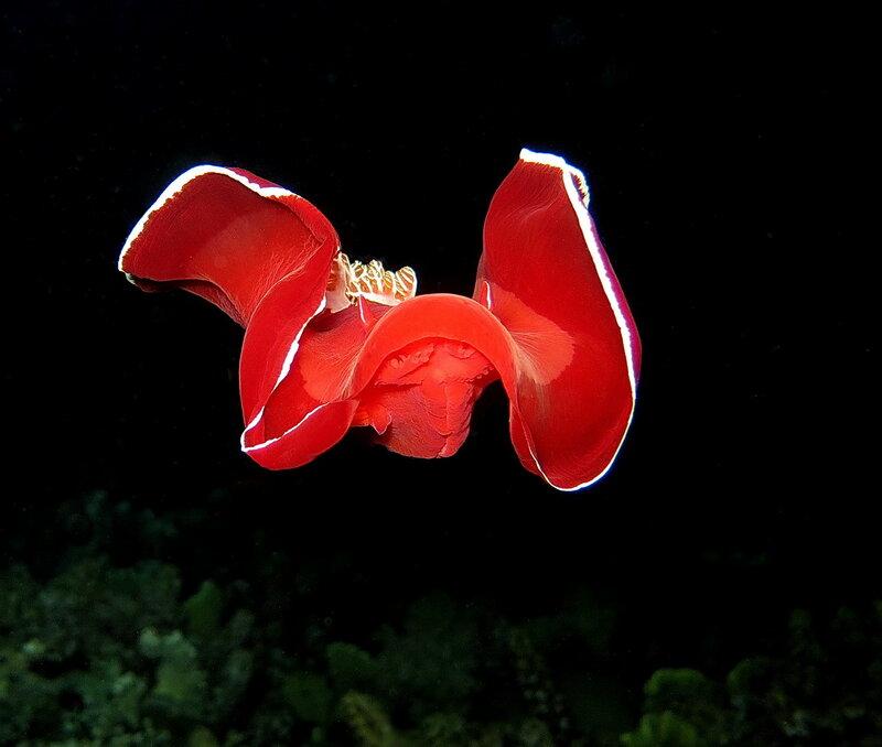 Испанский танцор (Hexabranchus sanguineus)