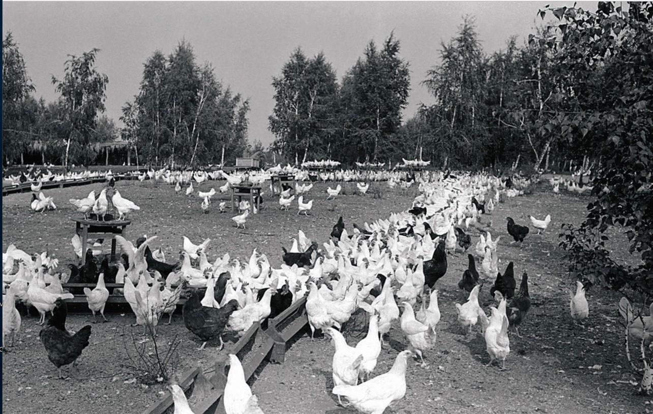 Птичий двор колхоза