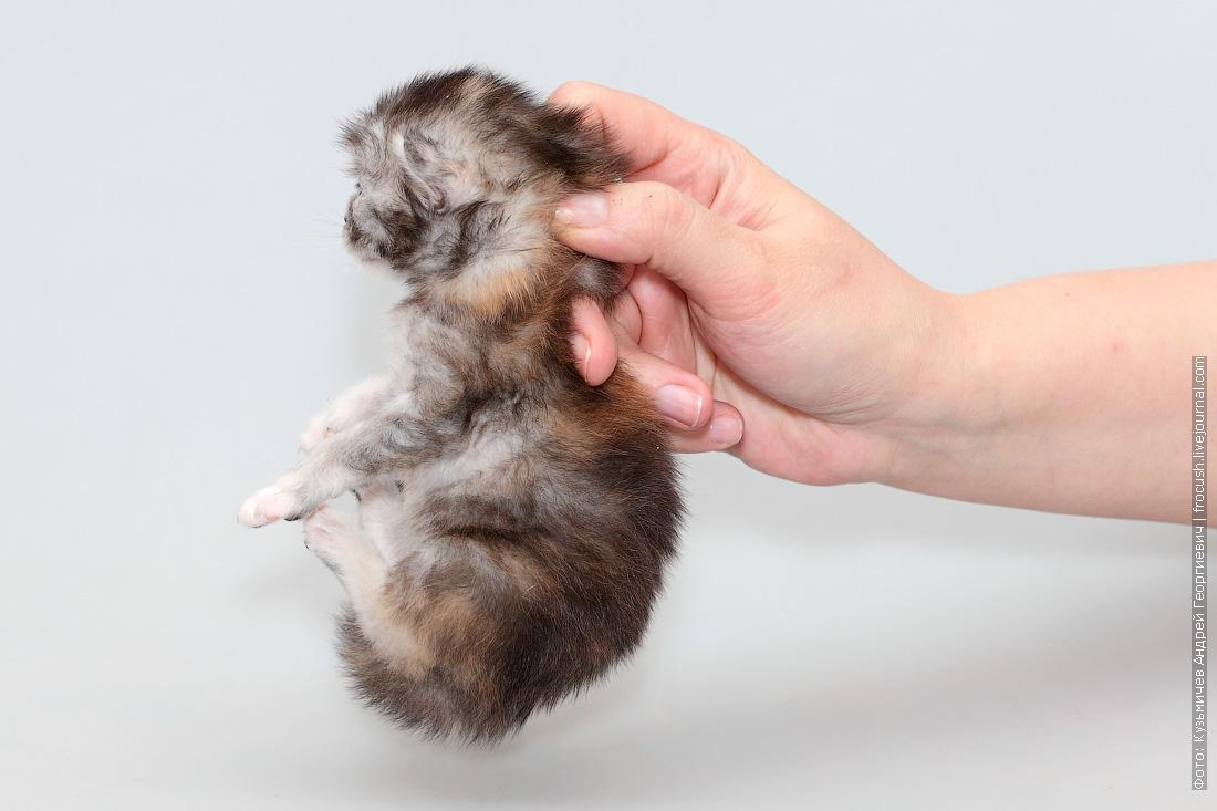 двухнедельный котенок мейн кун