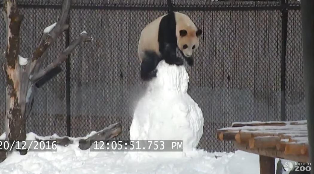 Большая панда против большого снеговика
