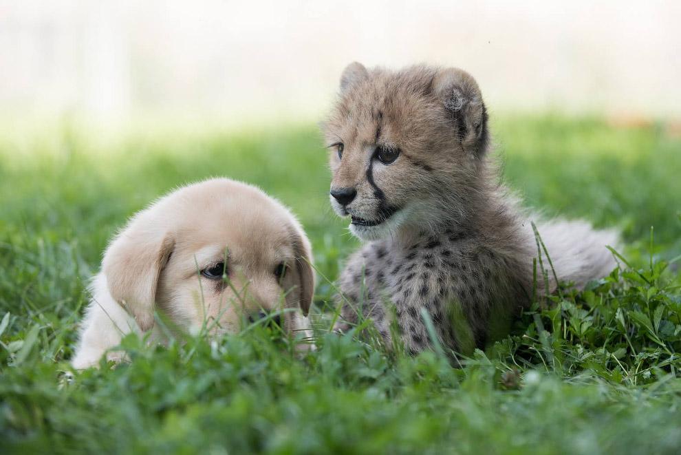 Других новорожденных гепардов в зоопарке сейчас нет, поэтому Эммета познакомили с 7-недельным щ