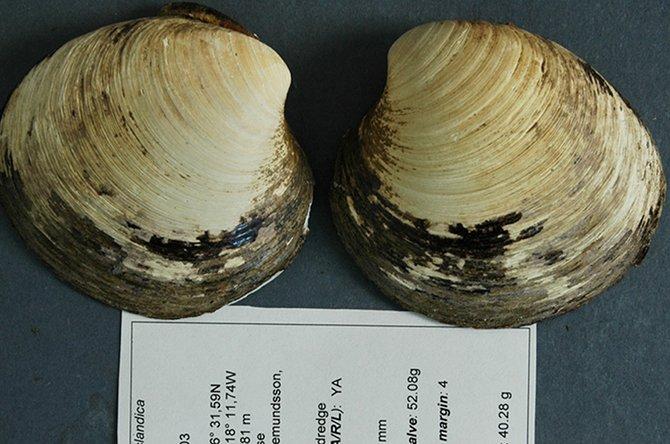 2. Моллюск Мин На берегу Исландии в 2006 году был найден выброшенный на берег моллюск, дата рождения