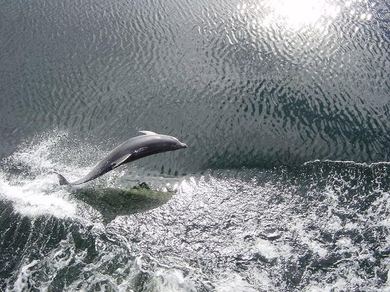 Дельфины могут плавать со скоростью до 25 миль в час в течение длительного времени. Это примерно в т