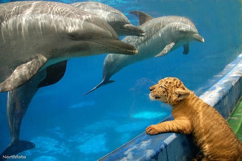 Дельфины изучают тигренка в сафари-парке в Женьшене, Китай.