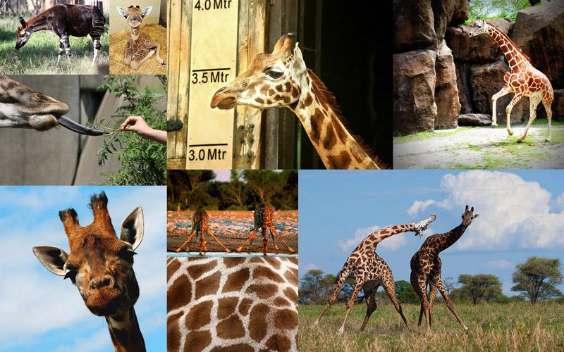 Самое высокое животное на земле – жираф, парнокопытное млекопитающее семейства жирафовых.