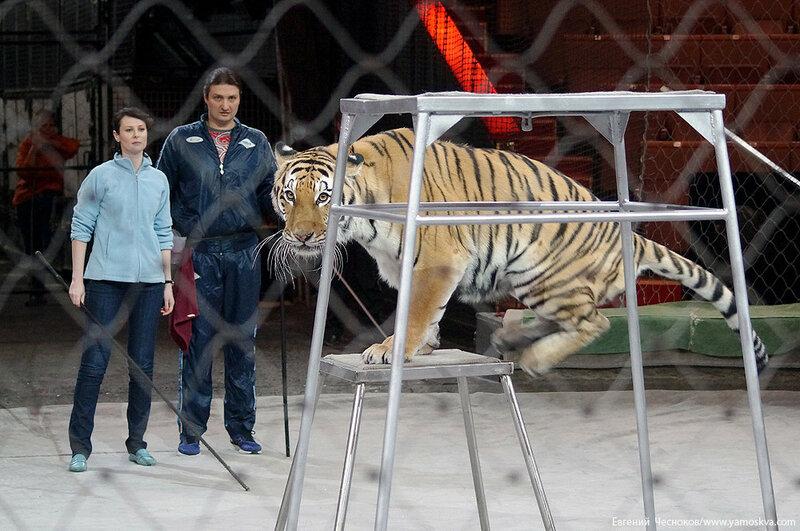 Весна. Назарова. тигры. 29.03.16.16..jpg