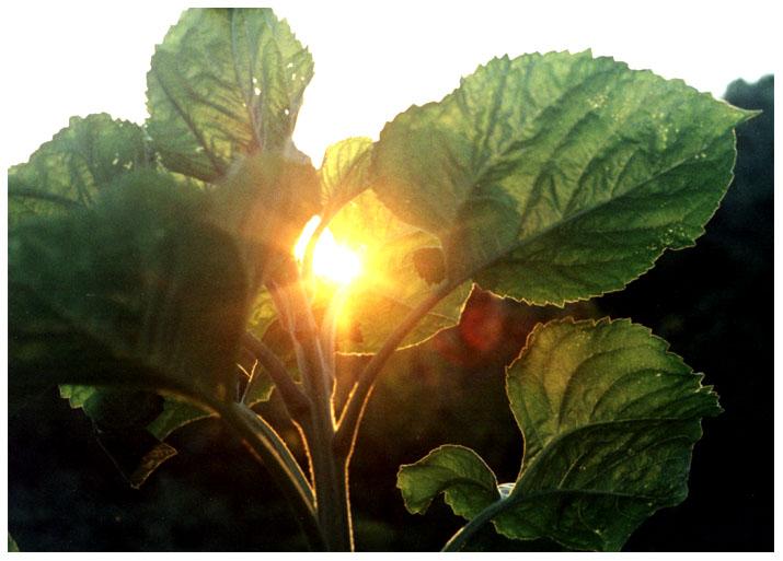 лопух в солнце.jpg