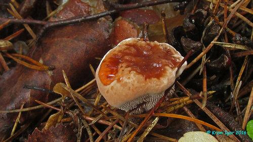 Гиднеллум ржавчинный (Hydnellum ferrugineum) Ржаво-бурые пятна в местах высыхания экссудата Автор фото: Кром Игорь