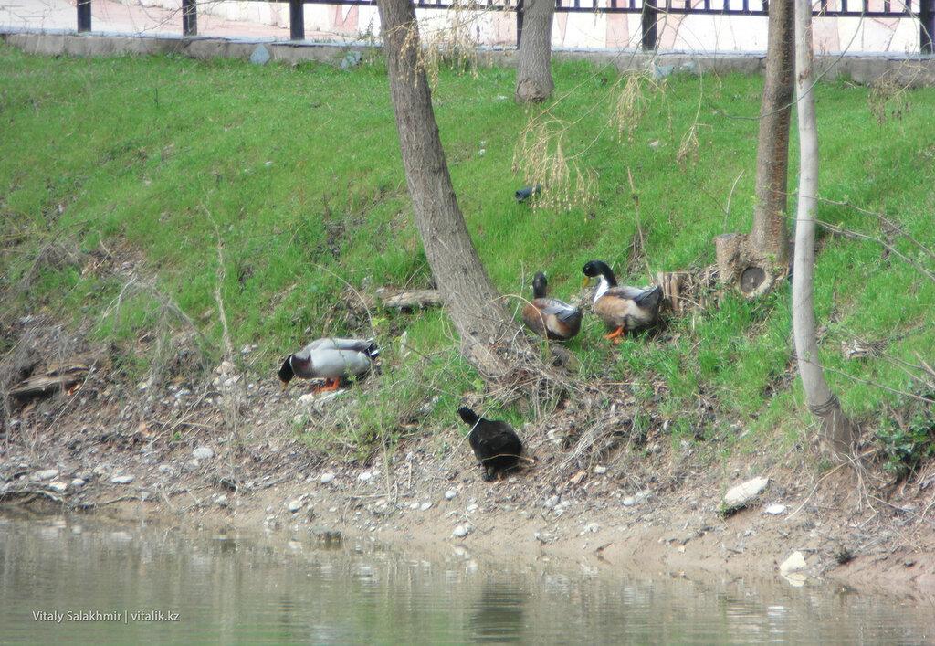 Утки в дендропарке Шымкента