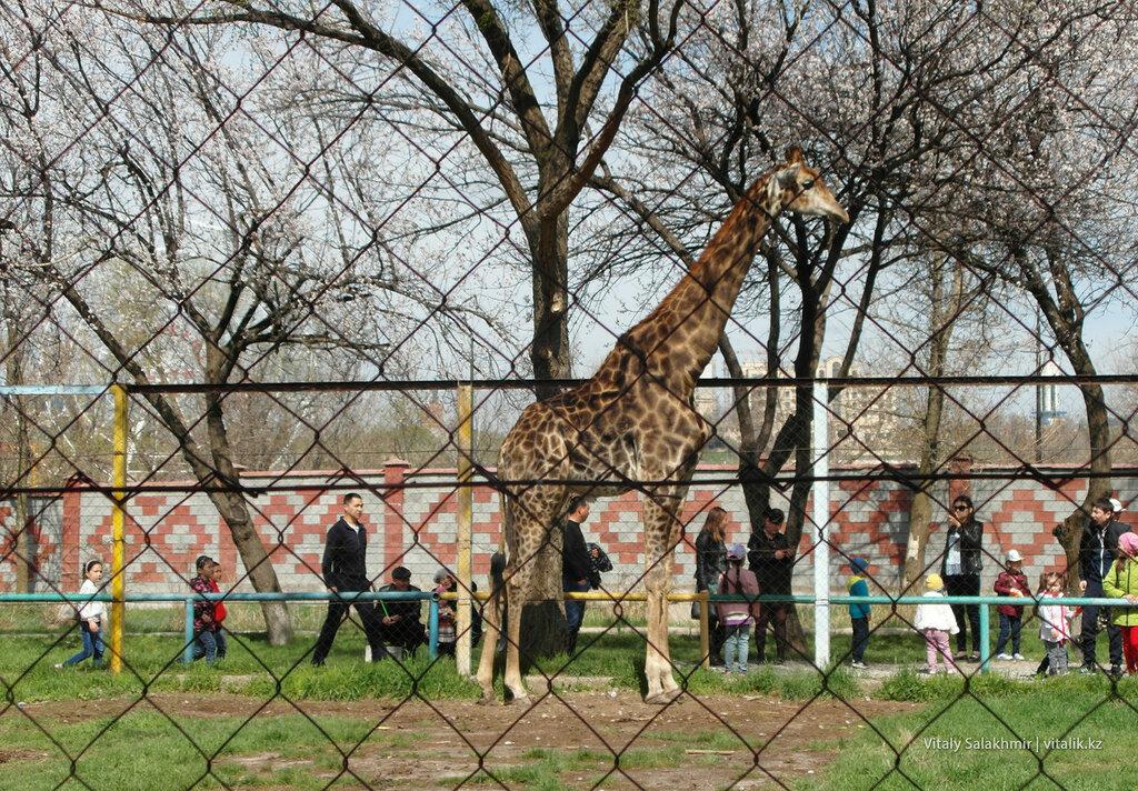 Жираф в зоопарке Шымкента