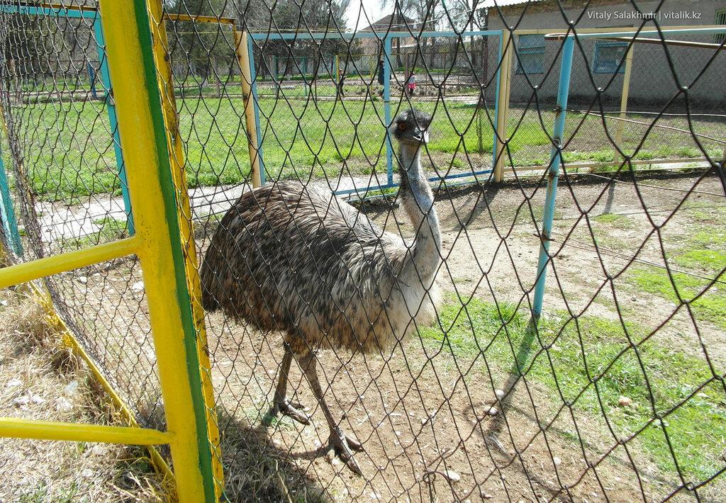 Страус эму в зоопарке Шымкента