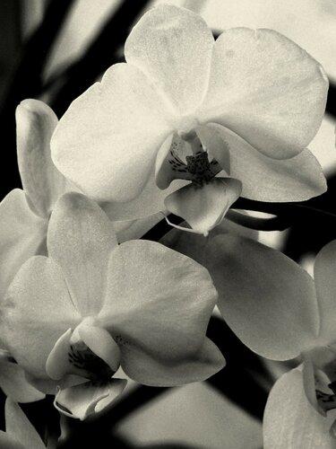 Белая орхидея (монохром)