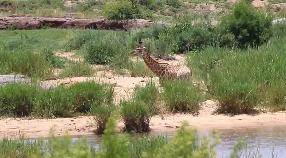 Жираф вырвался из пасти крокодила, но был съеден львами
