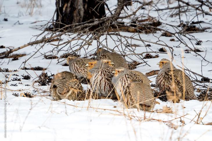 Бородатые куропатки зимой (10 фото)