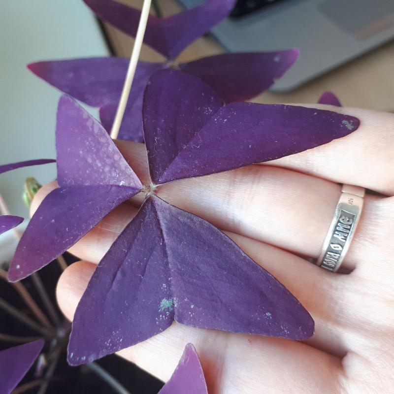 кислица пятна на листьях.jpg