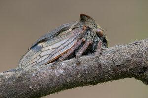 Горбатка обыкновенная - Centrotus cornutus (Membracidae)Альбом:  Мир под ногами / Полужесткокрылые - Hemiptera / Homoptera - Равнокрылые