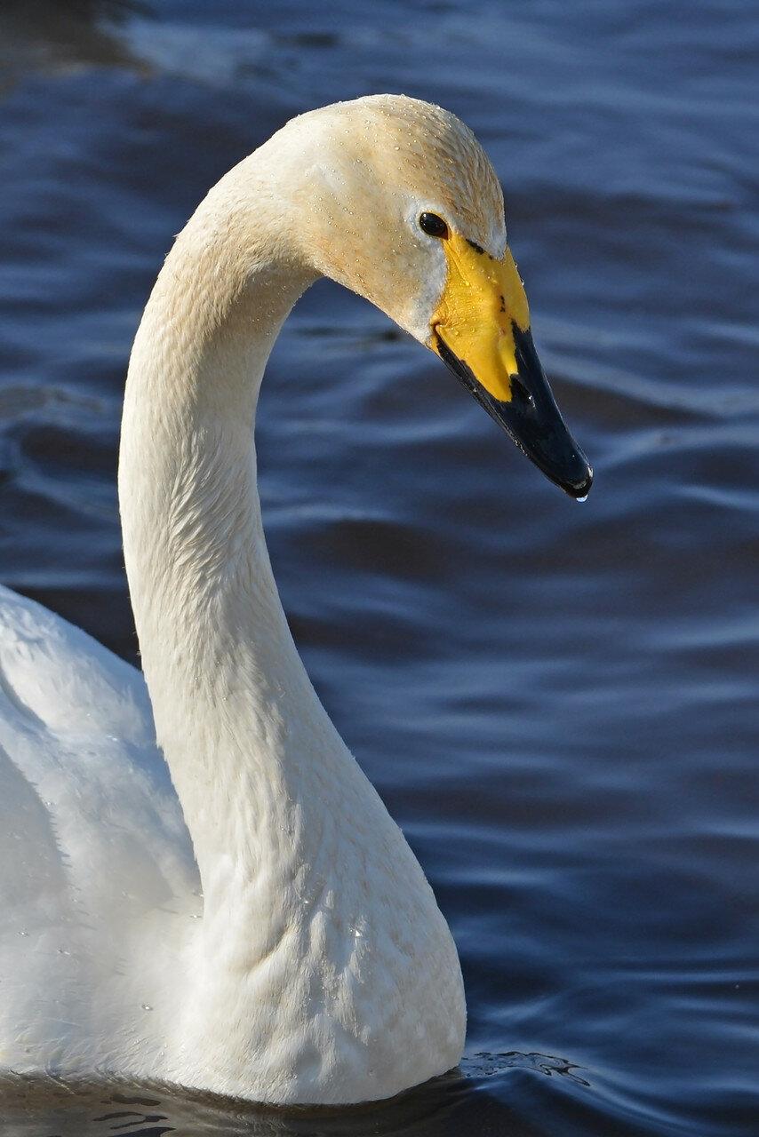 Лебеди-кликуны на зимовке.