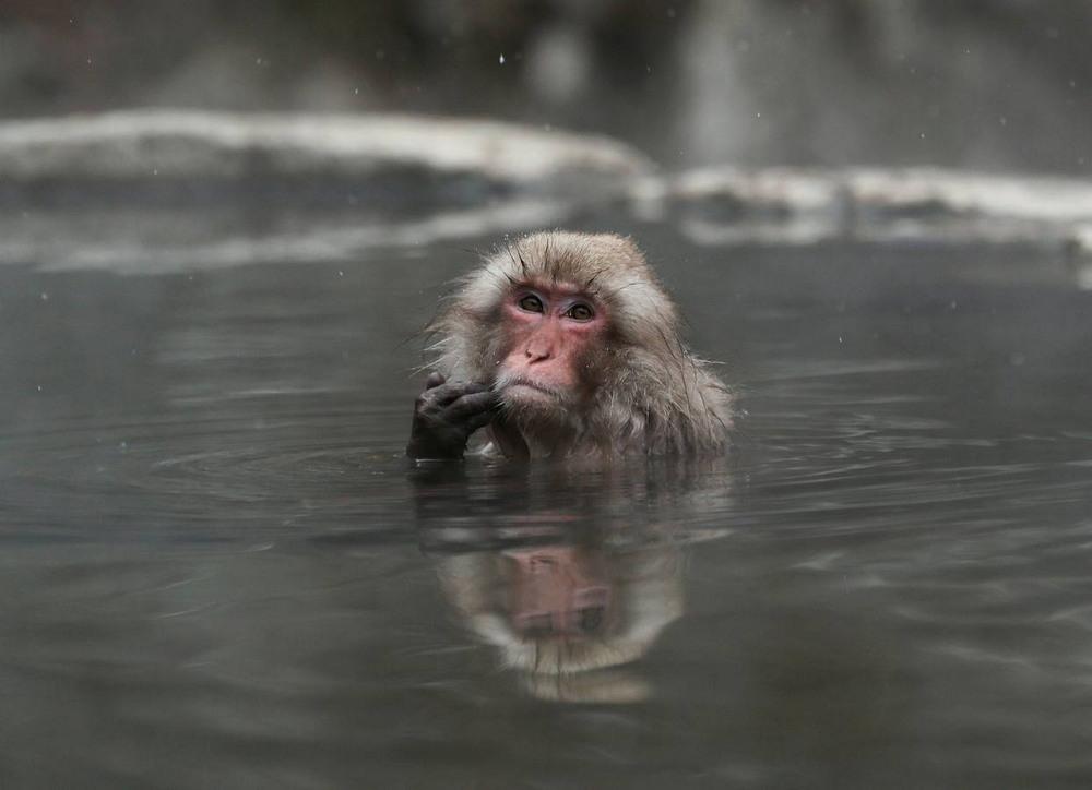Macacos en Yamanouchi