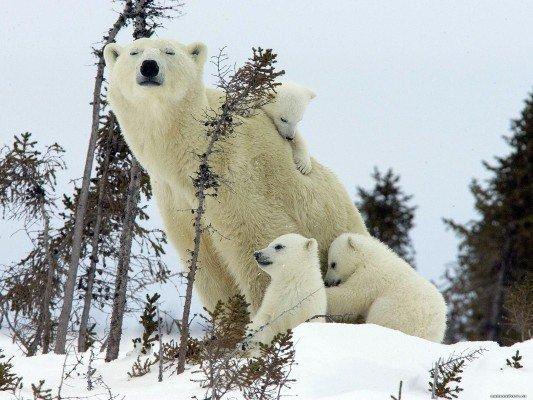 День полярного медведя. Взгляд в будущее