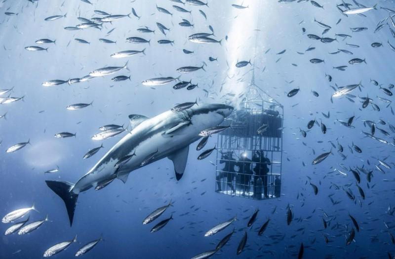 Фотограф снял огромную белую акулу, которая кружит вокруг клетки с дайверами (7 фото)