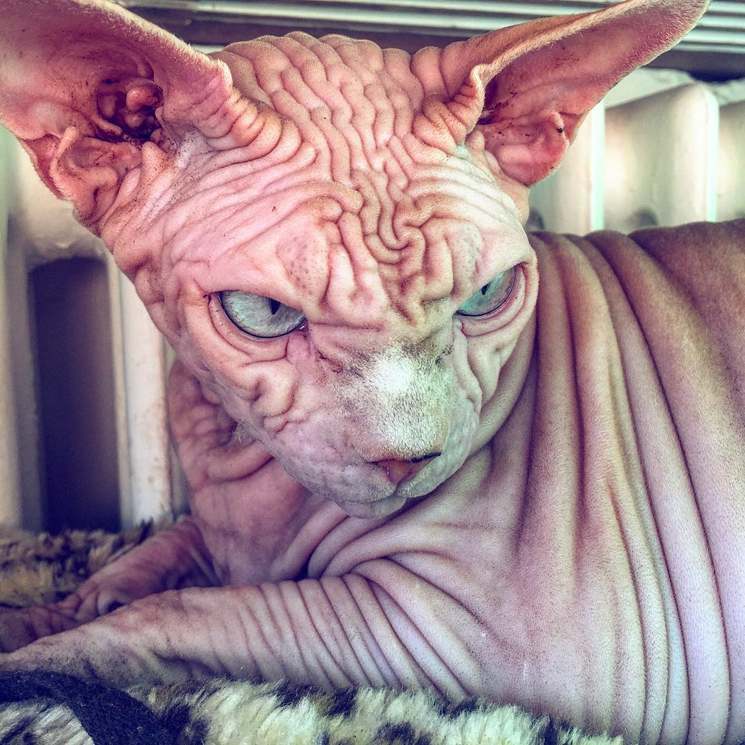 Лысый кот с суровым взглядом набирает популярность в Instagram