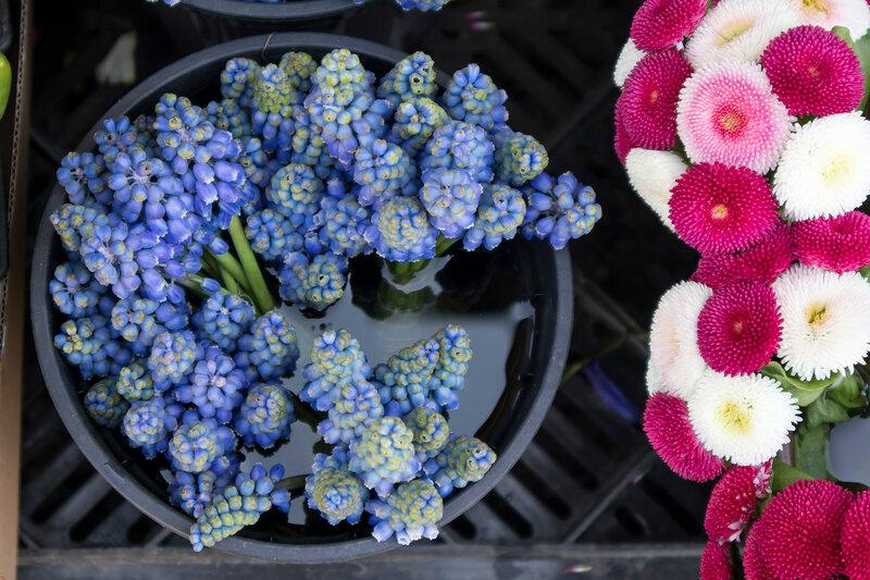 Muscari and Daisy Flowers border on the bucket