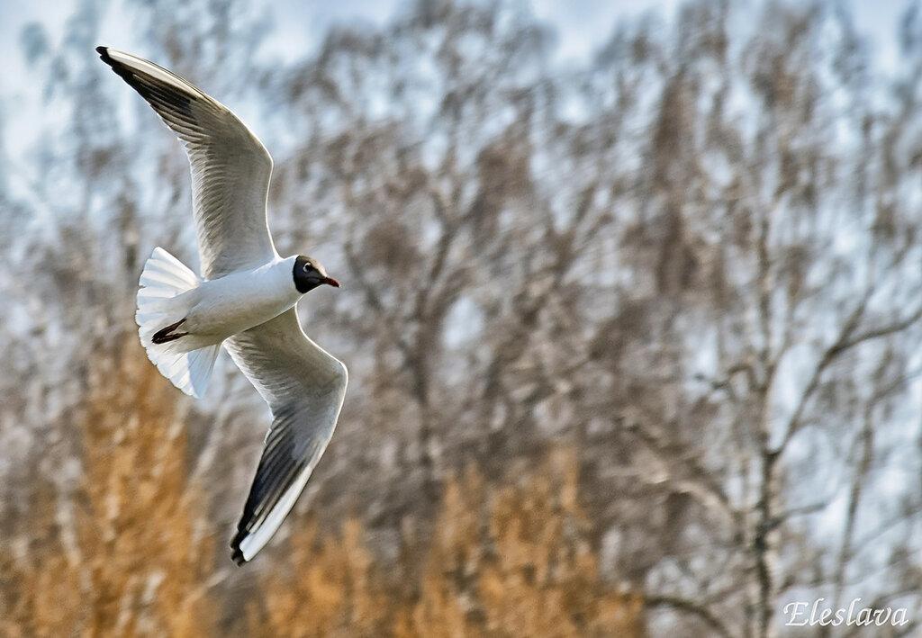 Озёрная чайка с весной к нам летит