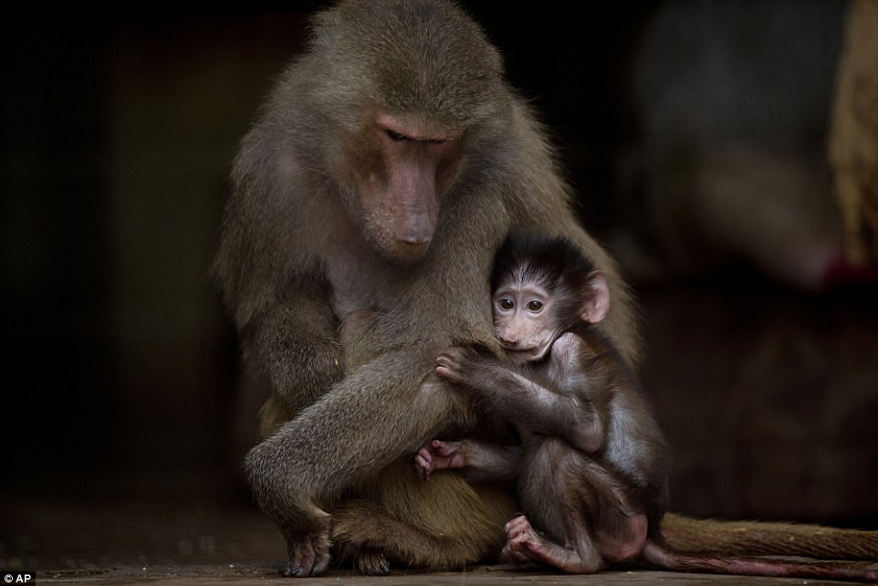 Грустные животные в зоопарка Буэнос-Айреса, которых должны были переселить еще год назад