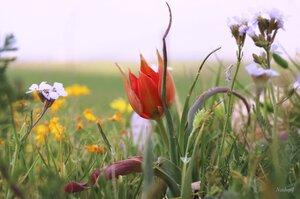 Дикий тюльпан на весеннем лугу