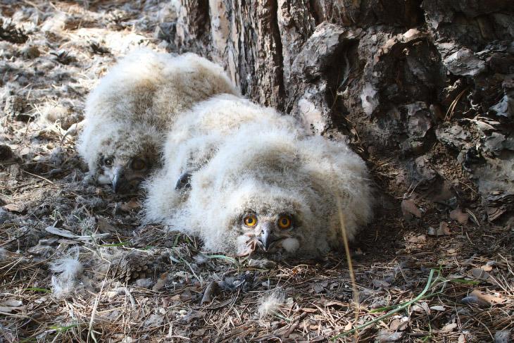 Алтайские филины в опасности! (10 фото)