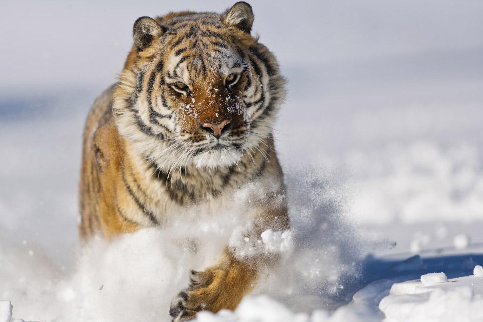 11. Давайте полюбуемся львами и тиграми, а они пусть живут в мире. Ведь самый главный враг этих