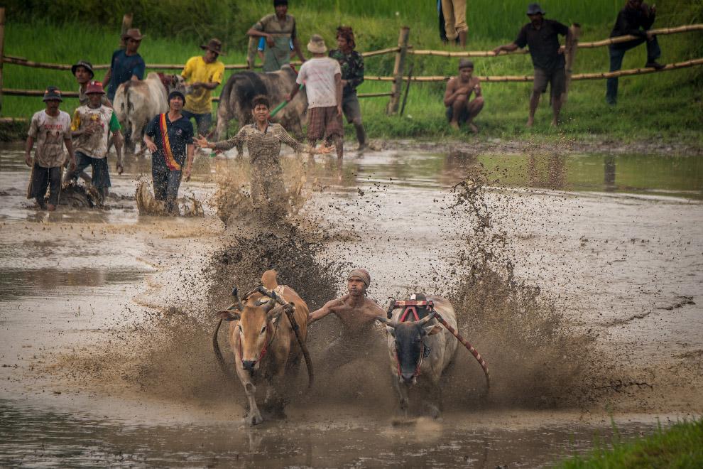 10. Чтобы быки бежали быстрее, их кусают за хвосты. (Фото Teh Han Lin):