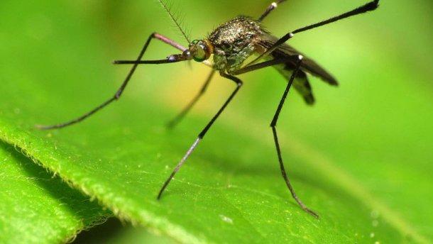 Эстонские ученые открыли «неправильных» комаров