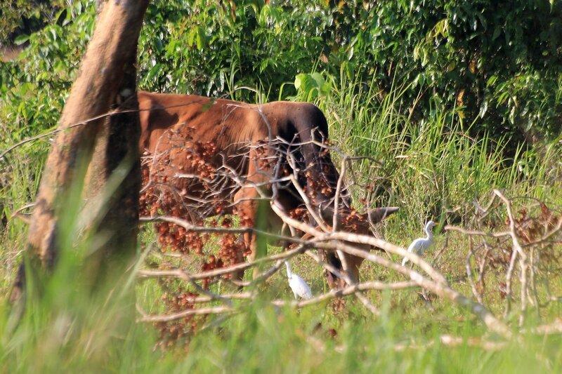 Пасущиеся домашние водяные (азиатские, индийские) буйволы и соседствующие с ними белые цапли, которые садятся на спину буйволам и выклевывают паразитов