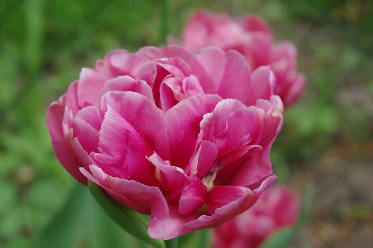 Купить тюльпаны Abigail к 8 Марта недорого