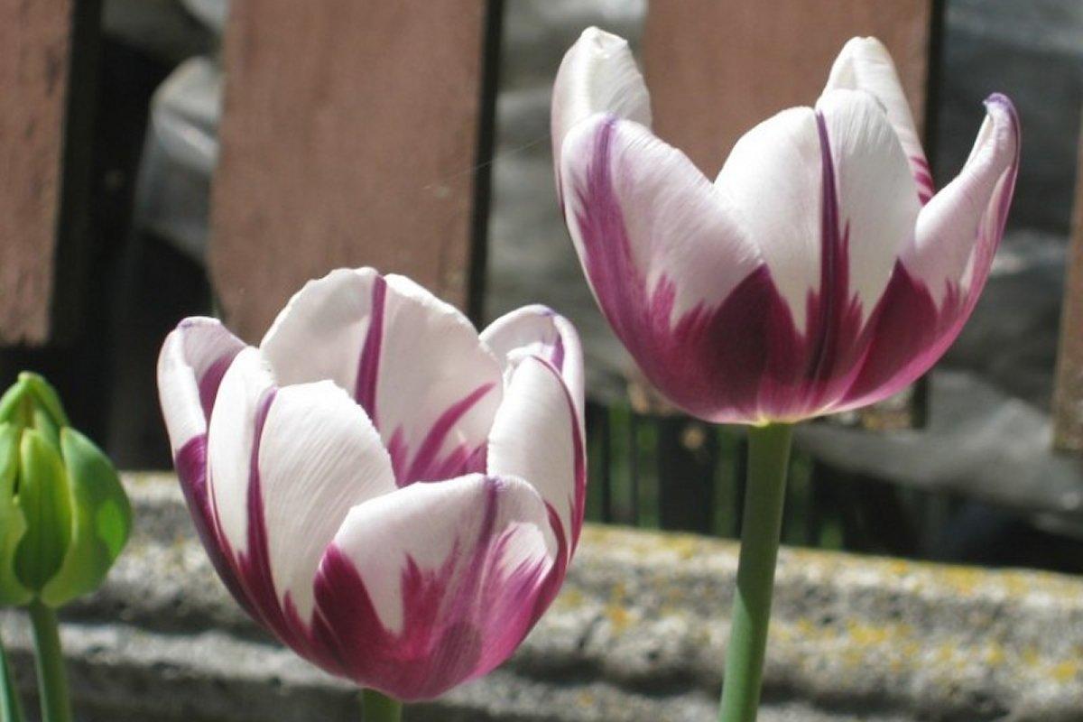 Лучшие тюльпаны Zurel к 8 марта