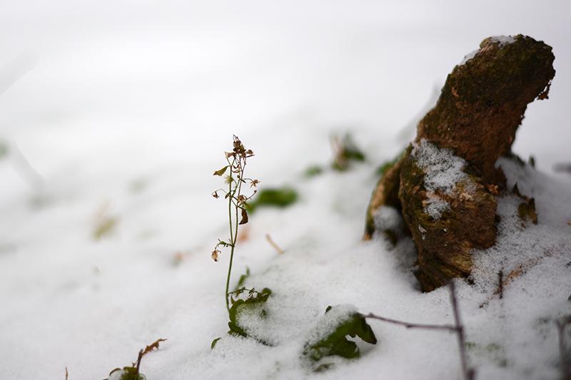 цветы в снегу 5.jpg