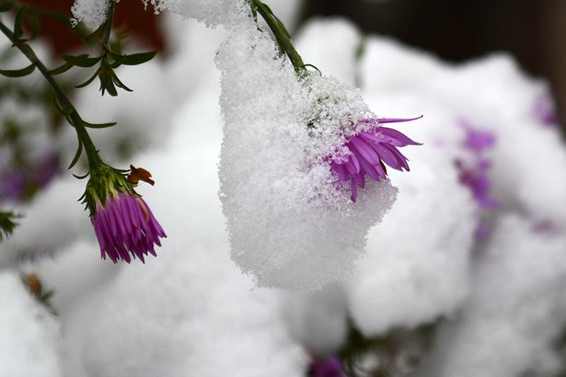 цветы в снегу 13.jpg