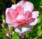 Сияние розового солнышка
